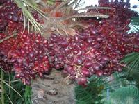 datteri palma nana - 14 novembre 2010  - Riserva dello zingaro (1349 clic)