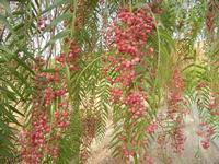 albero falsopepe - particolare - Terme Acquapia - 4 settembre 2011  - Montevago (1462 clic)