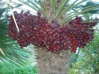 datteri palma nana - 14 novembre 2010  - Riserva dello zingaro (1600 clic)