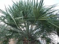 palma nana - 14 novembre 2010  - Riserva dello zingaro (1461 clic)