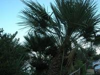 palma nana - 14 novembre 2010  - Riserva dello zingaro (1377 clic)