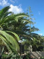 palme ed agave in fiore - 2 novembre 2010  - Castellammare del golfo (1257 clic)