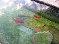 pesci rossi nella fontana - 14 novembre 2010  - Riserva dello zingaro (1803 clic)
