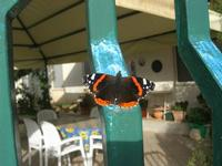 farfalla sul cancello - 2 dicembre 2010  - Alcamo (1346 clic)