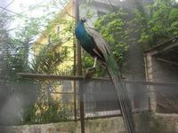 pavone - 18 aprile 2010  - Sant'angelo muxaro (2525 clic)