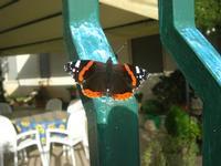 farfalla sul cancello - 2 dicembre 2010  - Alcamo (1275 clic)