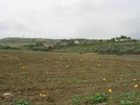 campo di meloni gialli - 10 ottobre 2010 BUSETO PALIZZOLO LIDIA NAVARRA