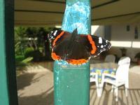farfalla sul cancello - 2 dicembre 2010  - Alcamo (1456 clic)