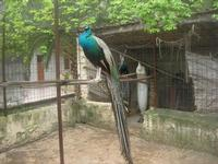 pavoni - 18 aprile 2010  - Sant'angelo muxaro (2255 clic)