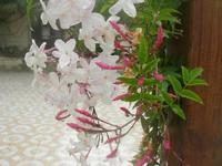 gelsomino - 18 aprile 2010  - Sant'angelo muxaro (3191 clic)