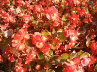 particolare di aiuola piemontese - 15 ottobre 2011  - Alcamo (671 clic)