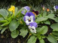 particolare di aiuola piemontese - viole - 18 ottobre 2011  - Alcamo (618 clic)