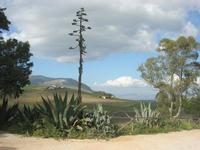 agave in fiore - parcheggio zona archeologica - 11 aprile 2010   - Segesta (1850 clic)