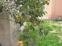 particolare albero di cachi - 10 ottobre 2010 BUSETO PALIZZOLO LIDIA NAVARRA