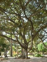alberi secolari nel giardino pubblico - 19 settembre 2010  - Mazara del vallo (1332 clic)