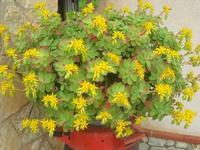 pianta grassa in fiore - 12 febbraio 2011  - Alcamo (1178 clic)