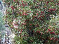 albero di azzalora - particolare - 9 ottobre 2011  - Scopello (1578 clic)