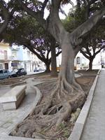 Piazza Giacomo Matteotti - giardino con alberi secolari - 13 dicembre 2010  - Castelvetrano (4419 clic)