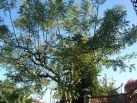 albero in cortile - 10 novembre 2010  - Alcamo (1341 clic)