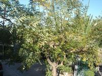 albero in cortile - 10 novembre 2010  - Alcamo (1394 clic)