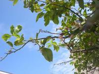 zagara del limone - 10 aprile 2010  - Castellammare del golfo (1654 clic)