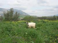 capra - 27 febbraio 2011  - Buseto palizzolo (1229 clic)