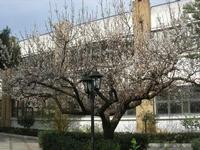 albicocco in fiore - giardino dell'I.C. Pascoli - 3 marzo 2010   - Castellammare del golfo (1777 clic)