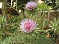 fiori cardo - 2 giugno 2010  - Bruca (2964 clic)