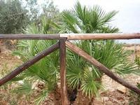 palma nana - Riserva Naturale Orientata dello Zingaro - 10 settembre 2010    - Riserva dello zingaro (1781 clic)