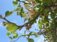 zagara del limone - 10 aprile 2010  - Castellammare del golfo (2047 clic)