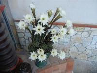 pianta di cactus fiorita - 28 giugno 2011  - Alcamo (805 clic)