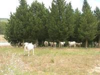 Bosco di Scorace - mucche - 2 giugno 2010  - Buseto palizzolo (1633 clic)