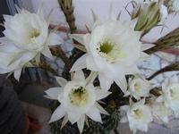 fiori di cactus - 28 giugno 2011  - Alcamo (880 clic)