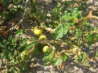 pomodoro selvatico - 18 agosto 2010  - San vito lo capo (5950 clic)