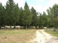 Bosco di Scorace - mucche - 2 giugno 2010 BUSETO PALIZZOLO LIDIA NAVARRA