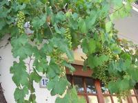 Via Amodeo Amodei - pergola - 24 agosto 2010  - San vito lo capo (1753 clic)