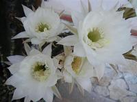 fiori di cactus - 28 giugno 2011  - Alcamo (820 clic)