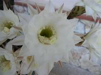 fiori di cactus - 28 giugno 2011  - Alcamo (726 clic)