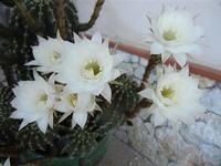 fiori di cactus - 28 giugno 2011  - Alcamo (785 clic)