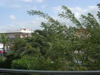 il vento di scirocco strapazza gli alberi - 1 novembre 2010  - Alcamo (1369 clic)