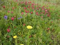 flora - 23 aprile 2011  - Scopello (1086 clic)
