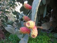 fichidindia - 2 novembre 2010  - Castellammare del golfo (1248 clic)
