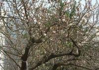 albicocco in fiore - giardino dell'I.C. Pascoli - 1 marzo 2010  - Castellammare del golfo (1757 clic)