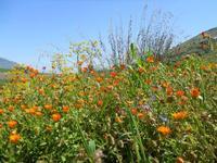 flora e panorama - 10 aprile 2011  - Segesta (963 clic)
