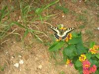 farfalla nel giardino di Piazza Petrolo - 28 settembre 2010  - Castellammare del golfo (1356 clic)