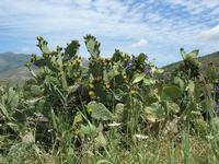 ficodindia in fiore - 2 giugno 2010  - Calatafimi segesta (2405 clic)