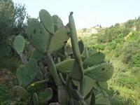 C.da L'Acqua La Vite - ficodindia e panorama - 25 aprile 2010  - Castellammare del golfo (1577 clic)