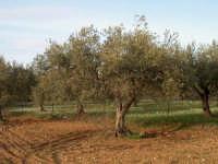 Ulivo  - Chiaramonte gulfi (5137 clic)