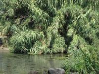 Foce del fiume Alcantara la lussureggiante vegetazione della foce dell'Alcantara  - Fiumefreddo di sicilia (1363 clic)