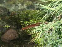 Foce del fiume Alcantara vegetazione alla foce del fiume Alcantara  - Fiumefreddo di sicilia (1788 clic)